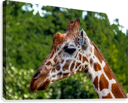 RETICULATED GIRAFFE 1 ERIC FRANKS PHOTOGRAPHY  Canvas Print