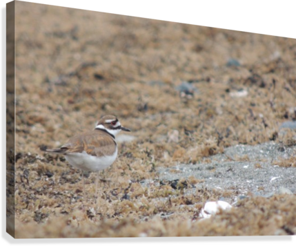 Killdeer Camouflage  Canvas Print