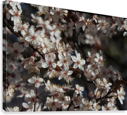 Lovely Blossoms  Canvas Print