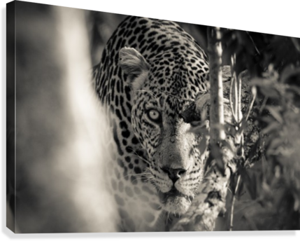 Eyes of the Leopard  Canvas Print