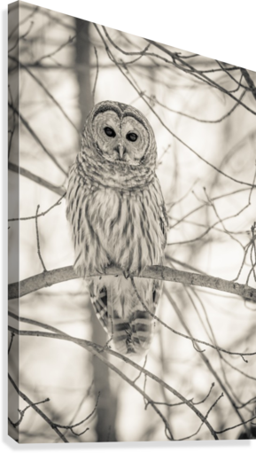 Spotted Owl - 1   Canvas Print