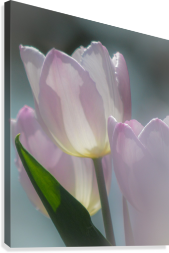 Pale Pink Tulips  Canvas Print