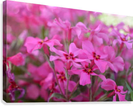 Pink Flowers Photograph  Canvas Print