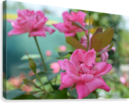 Pink Rose Garden Photograph  Canvas Print