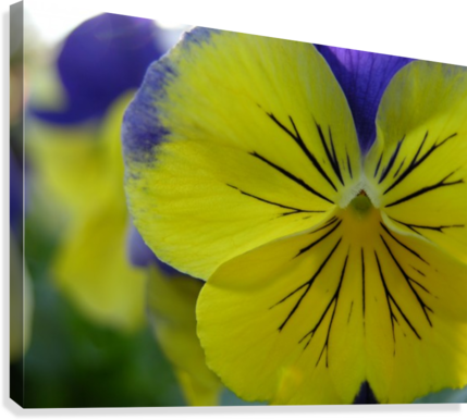 Yellow Pansy Photograph  Canvas Print