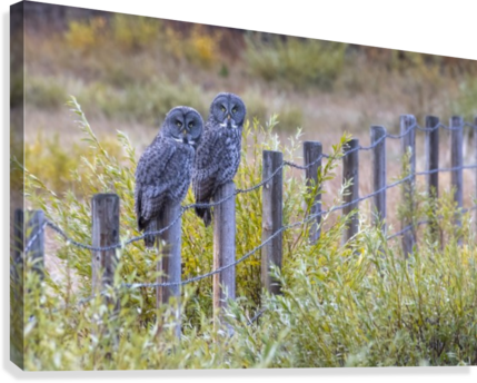 Seeing double - Great Grey Owl  Canvas Print