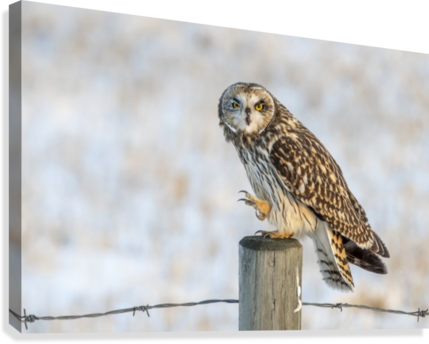 Short Eared Owl - Just an Itch  Canvas Print