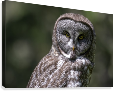 Great Grey Owl - Up close  Canvas Print
