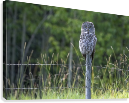 Great Grey Owl - Henry  Canvas Print