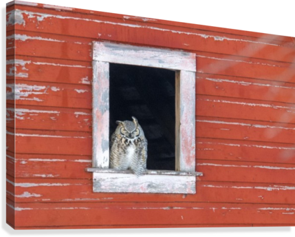 Great Horned Owl - Red Barn  Canvas Print