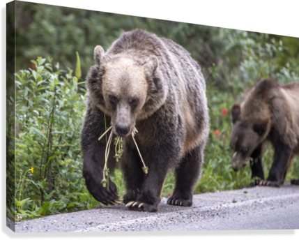 Grizzly Bear - Mouth Full  Canvas Print