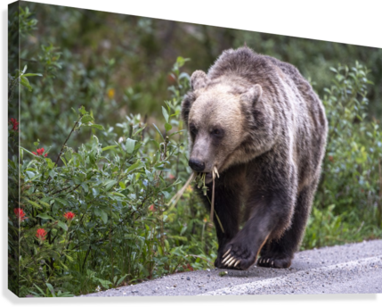 0037 - Grizzly Bear with Dandelions in Banff National Park Canada.  Canvas Print