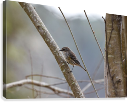 Yellow-rumped Warbler 4  Canvas Print