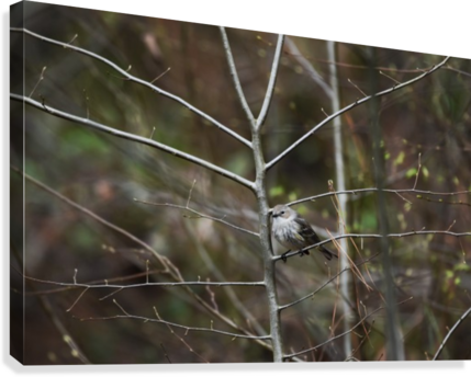 Yellow-rumped Warbler 2  Canvas Print