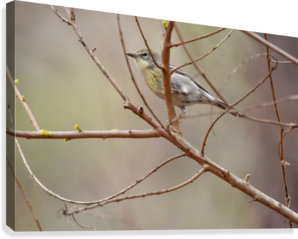 Yellow-rumped Warbler 3  Canvas Print
