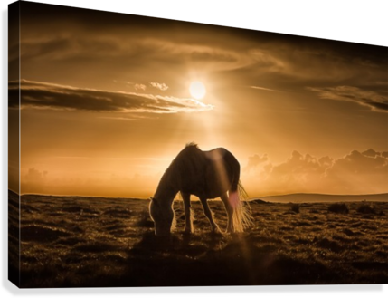 Gower pony at sunset on Cefn Bryn Gower  Canvas Print