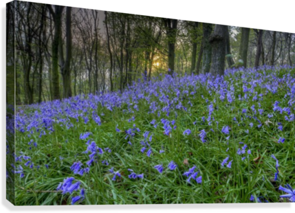 Sunset at Bluebell Wood in Margam  Canvas Print