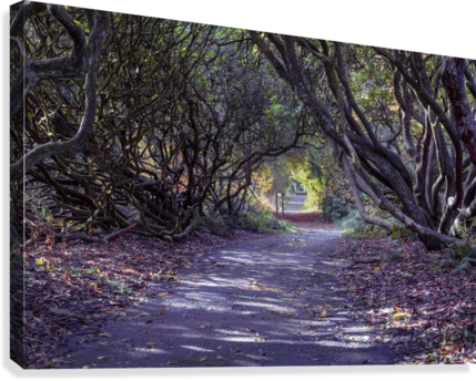 Tree lined Rhododendron walkway  Canvas Print