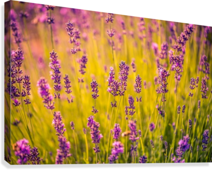 Beautiful Sunset lavender flowers  Canvas Print
