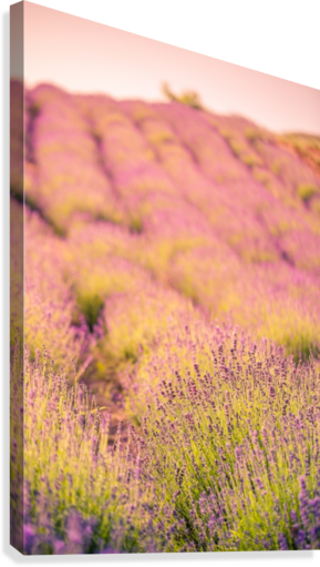 Beautiful Sunset lavender flowers on a field  Canvas Print
