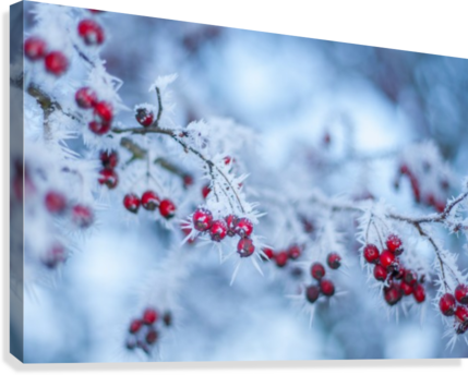 WINTER FLOWERS LEVENTE BODO  Canvas Print