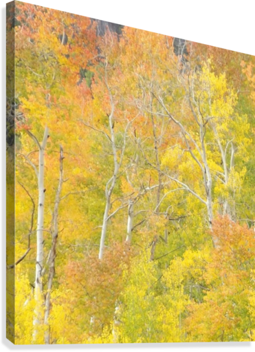 CHANGING ASPENS - VAIL COLORADO LINDA PEGLAU  Canvas Print
