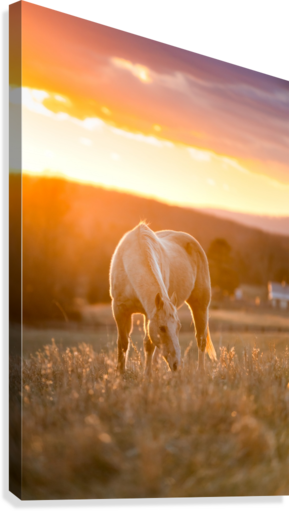 White Horse at Sunset  Canvas Print