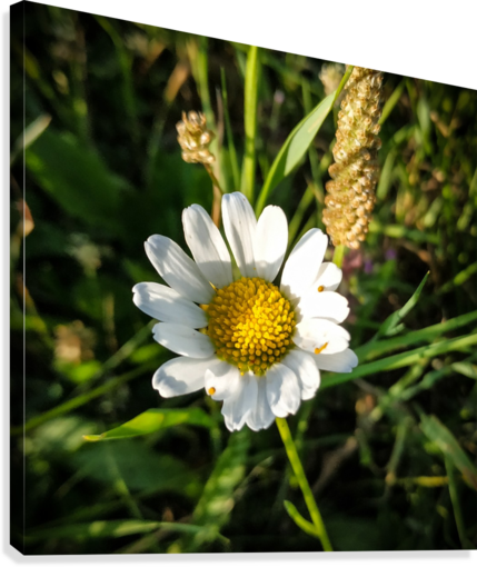 Little daisy in grass  Canvas Print