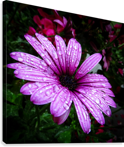 Violet flower with raindrops  Canvas Print