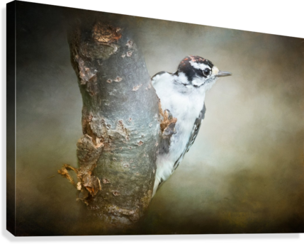 Juvenile male Downy Woodpecker  Canvas Print