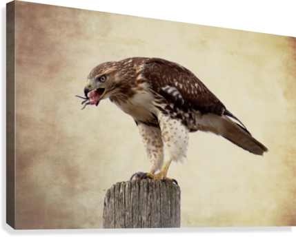 Meal Time for a Hawk  Canvas Print