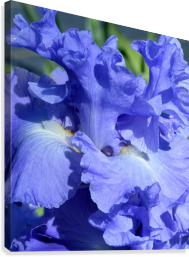 Metoleus Blue Bearded Iris  Canvas Print
