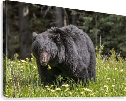 Black Bear With Dandelion  Canvas Print