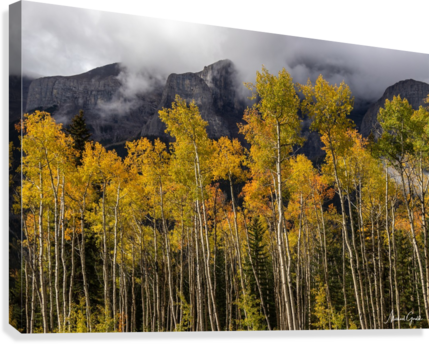 Aspens In Fall Banff National Park  Canvas Print