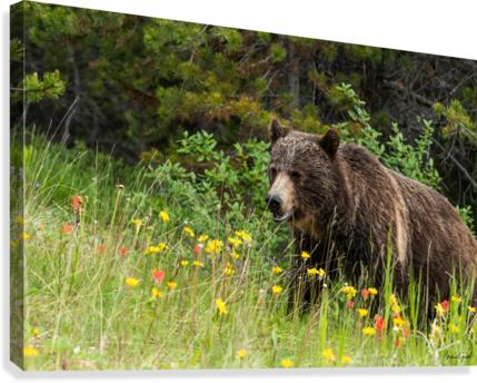 Grizzly Bear Sow 142  IMG_5130  Canvas Print