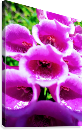 MOUTH OF THE DIGITALIS  Canvas Print
