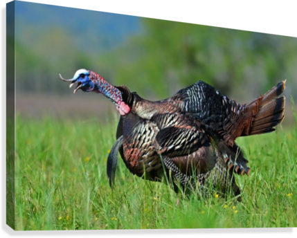 7_Gobbling Turkey  Canvas Print