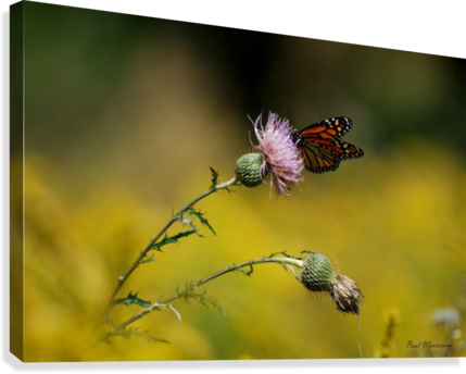 0017- Monarch Meal  Canvas Print