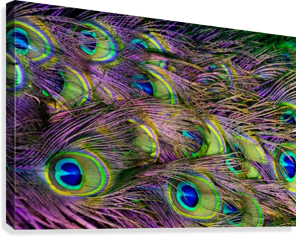 green purple and blue peacock feather digital wallpaper  Canvas Print