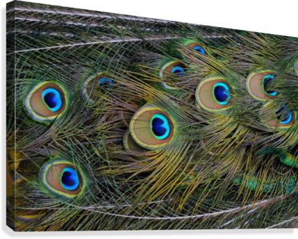 peacock tail feathers close up  Canvas Print