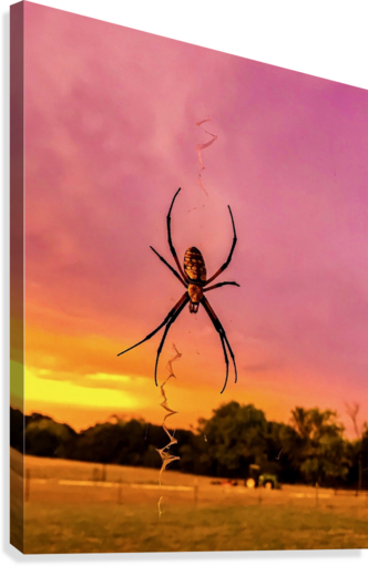 Banana Spider in Cat Spring TX  Canvas Print
