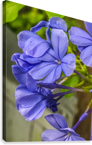 Purple Flowers  Canvas Print