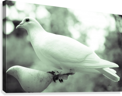 DOVE ENJOYING A MEAL DEPACE-  Canvas Print