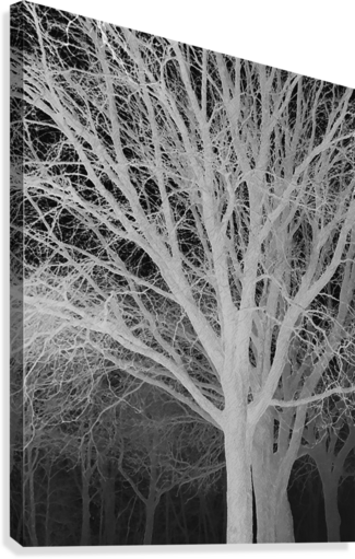 Ghost Trees  Canvas Print