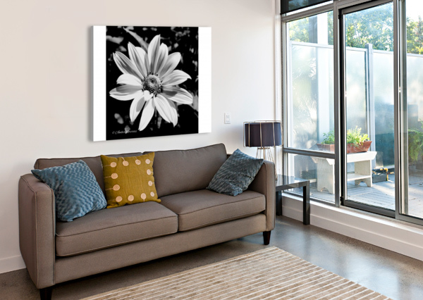 DAISY IN BW AMBER NORCROSS  Canvas Print