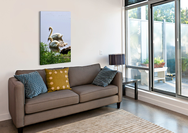 SWANS AND SYGNETS ON LAKE CONNIE MAHER  Canvas Print