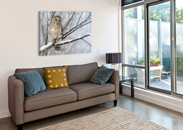BARRED OWL ON A SNOWY BRANCH MICHEL SOUCY  Canvas Print