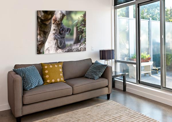 AUSTRALIAS OWN KOALA BEAR JULIAN STARKS PHOTOGRAPHY  Canvas Print