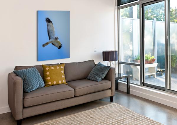 NORTHERN HARRIER IN FLIGHT DAVID YOON  Canvas Print