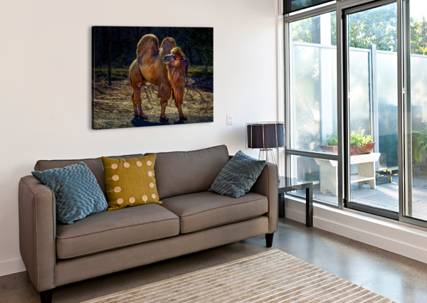 BACTRIAN CAMEL ERIC FRANKS PHOTOGRAPHY  Canvas Print